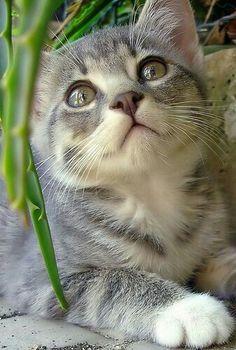 Come quelle enormi sfingi distese per l'eternità in nobile posa nel deserto sabbioso, i gatti scrutano il nulla senza curiosità, calmi e saggi.  Charles Pierre Baudelaire