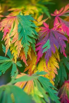 Learn about Japanese maple tree care and pruning, explore some of the many varieties of Japanese maples, and why these trees are great for container planting. Planting Flowers, Plants, Cool Plants, Potted Trees, Japanese Garden, Trees To Plant, Colorful Leaves, Japanese Maple Tree, Japanese Maple Tree Care