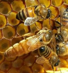 A Queen Bee can lay up to 2000 eggs per day, depending on weather and food availability. Bee Facts, Queen Bees, Dragonflies, Eggs, Weather, Food, Bees, Insects, Beer