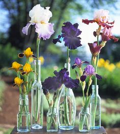 Growing, maintaining and dividing iris. Note: the best time to divide your iris is mid to late summer. Beautiful Flowers, Flowers Perennials, Easy To Grow Flowers, Growing Flowers, Iris Garden, Iris, Bearded Iris, Plants, Iris Flowers