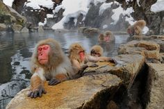 Go to Japan and watch Macaca fuscata having their baths! Japanese Monkey, Ueno Zoo, National Geographic Photo Contest, Japanese Macaque, Go To Japan, Primates, Animals Beautiful, Black And White, Winter