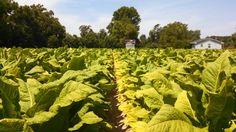 Tobacco rows
