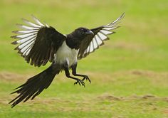 Magpie 5 Photo by GREENGRASS_66 | Photobucket