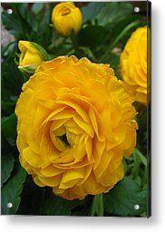 Remarkable Yellow Ranunculus Acrylic Print by Janara  Hoppock