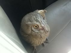 Just an Afghan baby owl in the front seat of our tactical vehicle... http://ift.tt/1sPAPm4