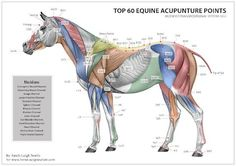Equine Acupuncture Points chart-there are many more stress points than listed here..