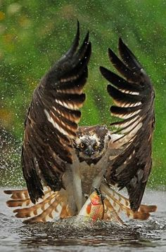 """Out You Come"".. Osprey (Pandion haliaetus) 