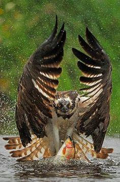 Osprey by Bill Doherty