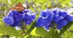 El color de las hortensias