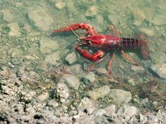 What Do Crayfish Eat? – The Care, Feeding and Breeding of Crayfish (Crawfish