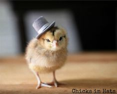Photo Print 8x10 Chick Wearing A Top Hat Photograph Chicken Photography Chicks in Hats on etsy.com