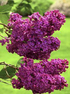100 pcs blanc japonais lilas graines (extrêmement parfumé) gousse