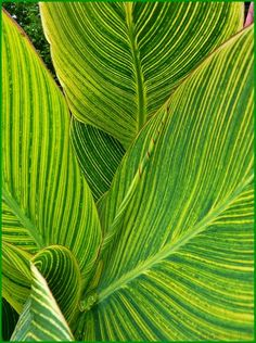 Going to try Canna Lily in a big pot this year. Love this leaf. Canna Lily Bengal Tiger - leaf