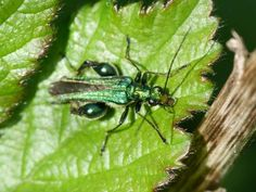 Swollen-thighed Beetle: welcome aboard | Nature Notes