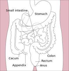 Stomach colon rectum diagram-en.svg