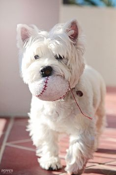 Britney loves her ball... ---------------------------------------- You can also follow Pepper The Westie's adventures at: www.facebook.com/PepperTheWestie ----------------------------------------