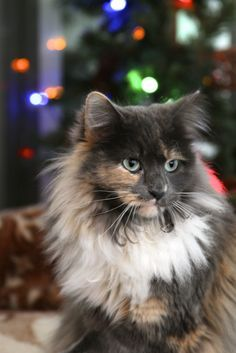 Soft kitty.....  For more Christmas cats, visit http://Facebook.com/funholidaycats