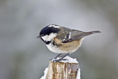 The Coal tit, smallest of our tits, a clever little bird that hoards its food