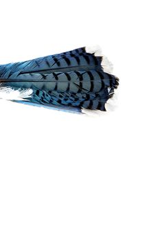 blue jay tail (mary jo hoffman)