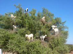 Morocco -    Goats in Argan trees ...