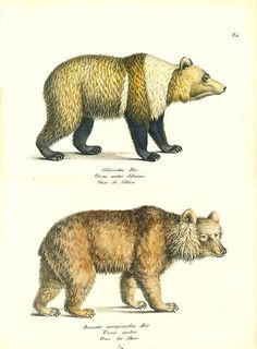 Image result for vintage illustrations of grizzly bear