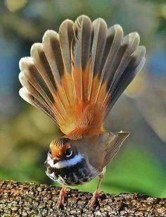 Solve Rufous Fantail jigsaw puzzle online with 88 pieces Small Birds, Little Birds, Colorful Birds, Big Bird, Most Beautiful Birds, Pretty Birds, Rare Birds, Exotic Birds, Beautiful Creatures
