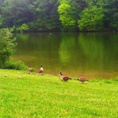 Geese gathering at Warrior's Path State Park
