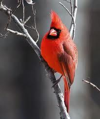 You see a lot of Cardinals here in Missouri