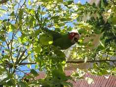 wild parrots of telegraph hill, yes, wild parrots in San Francisco