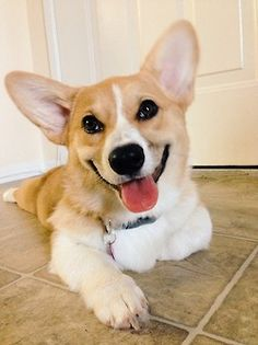 Corgis are just like the happiest dogs on the planet.
