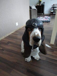 basset hound has a new hat