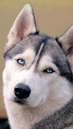 I had one just like this! #siberianhusky