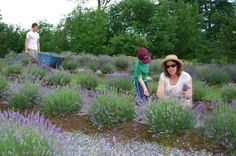 Glendarragh Lavender Farm   Maine