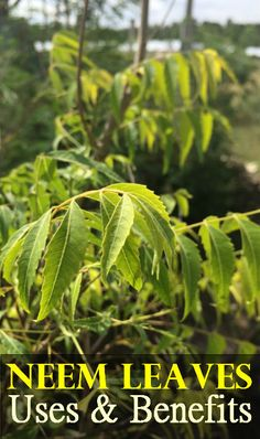 Neem Leaves Benefits !!!!!  This article is only concerned about the numerous uses and benefits that the Neem leaves offers mankind.