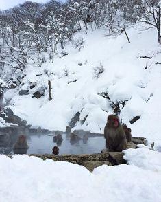 Jigokudani Yaen-koen Nagano JAPAN @alushen Overseas Travel, Japan Travel, Jigokudani Monkey Park, Nagano Japan, Winter Scenery, Hd Desktop, Science And Nature, Spirit Animal, Animal Kingdom