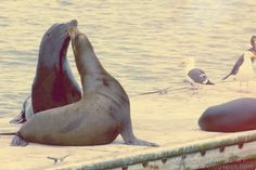 What a great image of the California Sea Lions at home in #marinadelrey!