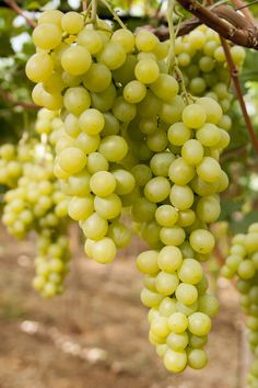 #grapes Uva di Adelfia