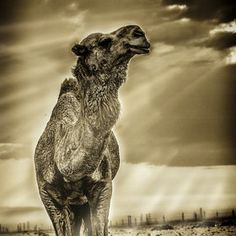 what a majestic camel. i love them.