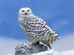 Thanks to their extra insulation, snowy owls weigh about four pounds. That's twice as heavy as the great gray owl, which is the tallest. Photo: Snowy owl courtesy of Commons.