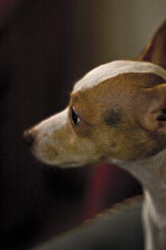Koira miettii - Dog
