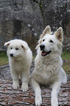 Black German Shepherds Chiot Eagle Ice of Washita Ahow berger blanc suisse Elevage Montpellier Cute Dogs Breeds, Cute Dogs And Puppies, Gsd Puppies, Pet Dogs, Dog Breeds, German Shepherd Training, German Shepherd Puppies, German Shepherds, White Shepherd