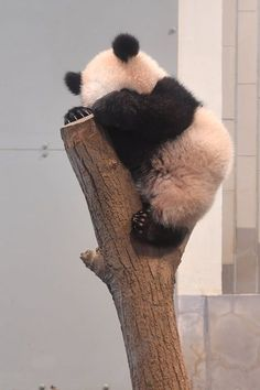 Information about types of pandas that exist in the world. Not only that, you can find fun facts about giant pandas and red pandas too. Pandas Baby, Baby Panda Bears, Cute Baby Animals, Funny Animals, Giant Pandas, Wild Animals, Red Pandas, Niedlicher Panda, Panda Love