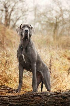 Great Dane, Blue - Enfant Terrible Von Mraque | via DOGFORSHOW