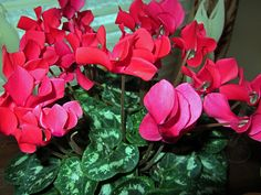 Cyclamen - saw these with ivy in London window boxes in December and they were holding up beautifully.