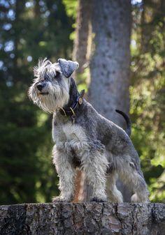 Brillo in Klosters - A lifestyle portrait of our little Miniature Schnauzer puppy called Brillo