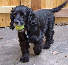 Barclay the Cocker Spaniel Pictures 672842 Black Cocker Spaniel, American Cocker Spaniel, Cocker Spaniel Puppies, English Cocker Spaniel, Springer Spaniel, Spaniel Breeds, Dog Breeds, Huge Dogs, Cockerspaniel