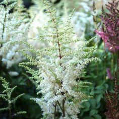 Buy false goatsbeard Astilbe chinensis Vision in White - Fluffy white flowerheads: pot: Delivery by Crocus Magenta Flowers, Small White Flowers, Bog Garden, Garden Care, Rain Garden, Green Tips, Astilbe
