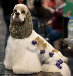 Puppy poser: American Cocker Spaniel Ricky readying himself for competition in a decorative snood, while his coat is tied up with purple hair clips. Only at Crufts really...