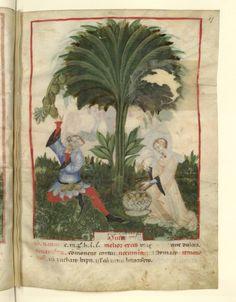 Nouvelle acquisition latine 1673, fol. 17, Récolte des bananes. Tacuinum sanitatis, Milano or Pavie (Italy), 1390-1400.