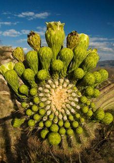 The blooming arm of a Saguaro. Santa Catalina Mountains, southern Arizona